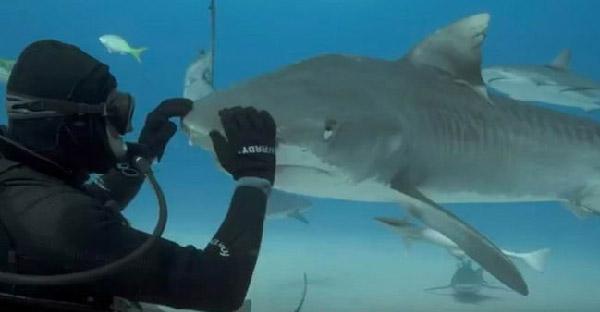 ชายคนนี้สามารถลูบหัวฉลามเสือ เหมือนกับลูกหมาตัวน้อยๆได้