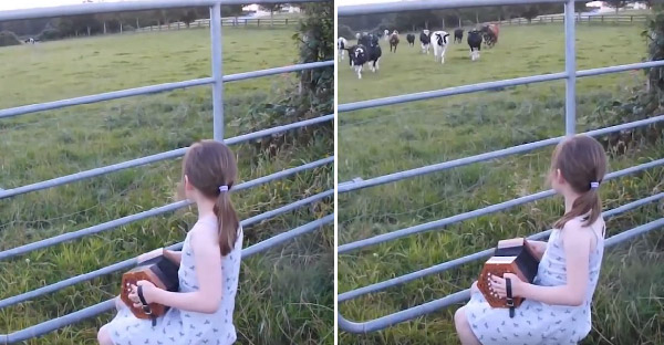 เด็กน้อยนั่งเล่นหีบเพลง จนฝูงวัวต้องวิ่งข้ามฝั่งมาฟังใกล้ๆ