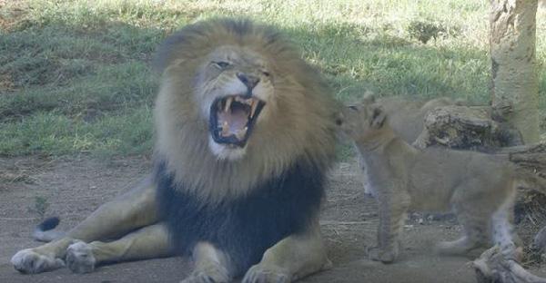 ลูกสิงโตขี้เล่นได้เจอกับคุณพ่อเป็นครั้งแรก หยอกคุณพ่อกันอลเวงน่ารักสุดๆ