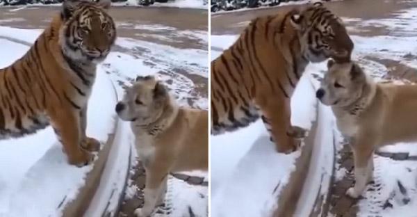 เมื่อพี่เสือไม่ได้เจอน้องหมาเพื่อนซี้นานสองปี จึงเกิดเป็นโมเม้นท์น่ารักๆขึ้น