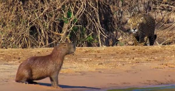 เสือจากัวร์เหมือนจ้องขย้ำหนูยักษ์แคพิบารา ก่อนจะเผยเป้าหมายของมันคือจระเข้เคแมน