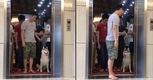 เมื่อเจ้าของกับฮัสกี้เข้าลิฟท์แล้วน้ำหนักเกิน มันจึงแสดงพฤติกรรมได้ฮาสุดๆ
