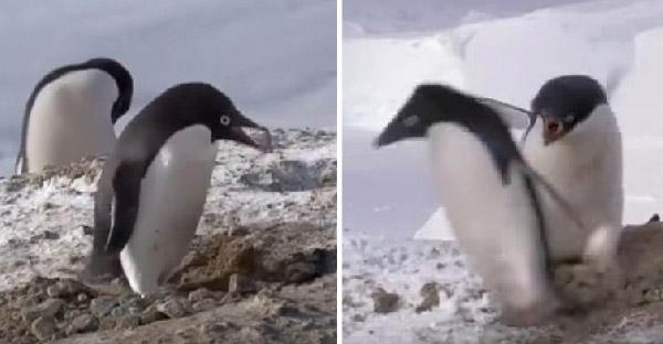 เพนกวินขโมยหินจากรังคู่แข่งหวังพิชิตใจสาว แต่สุดท้ายความแตกวิ่งไล่กันฮาสุดๆ