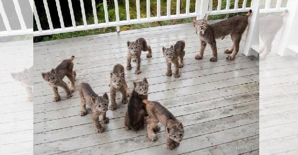 เจ้าของบ้านสุดเซอร์ไพรซ์ ตื่นมาเจอครอบครัวแมวป่าบุกบ้าน จนได้ภาพสวยๆมาเพียบ