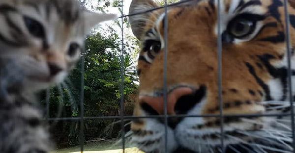 เจ้าของบอกข่าวร้ายกับพี่เสือ ว่าหนึ่งในลูกแมวที่รู้จักได้จากโลกนี้ไปแล้ว