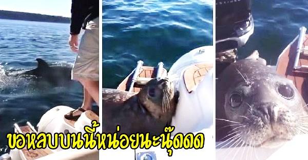 อุ๋งอุ๋งว่ายหนีฝูงวาฬเพชรฆาต กระโดดขึ้นเรือทำตาแบ๊ว ขอที่หลบหน่อยนะนุ๊ด