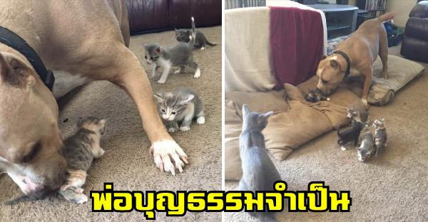 พิตบูลสายมุ้งมิ้งรับบทเป็นพ่อบุญธรรมลูกแมว อีกทั้งแม่แมวยังรู้เห็นเป็นใจอีกด้วย