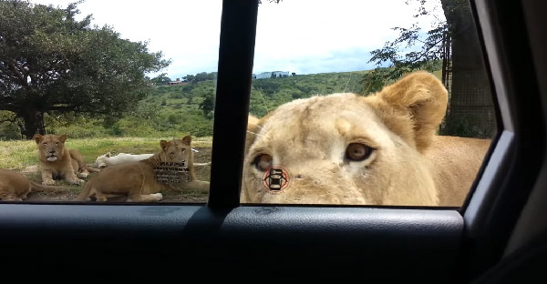 สองพี่น้องลืมล็อกประตูรถ ทำให้สิงโตแอฟริกาเปิดประตูจนเกือบเป็นเรื่องซะแล้ว