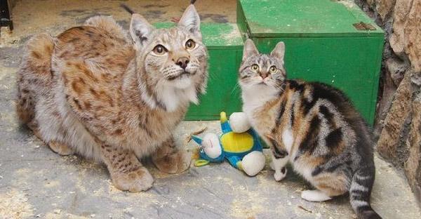แมวจรจัดบังเอิญหลุดเข้าไปในกรงแมวป่า เป็นจุดเริ่มต้นความผูกพันนานกว่า 7 ปี