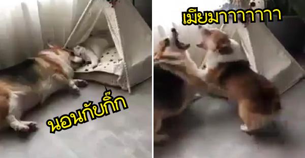 เมื่อหมาสาวเจอแฟนหนุ่มนอนกับกิ๊กตำตา งานนี้มีเจ็บตัวแถมฮาได้อีกกกกก
