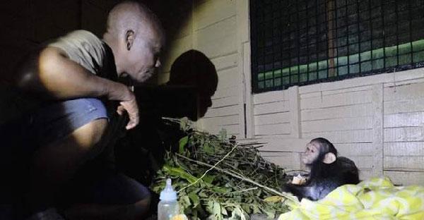 ลูกชิมแปนซีกลัวมนุษย์ขึ้นสมอง เพราะถูกพรากแม่ไปต่อหน้าต่อตาและถูกขังอยู่กับฆาตกร