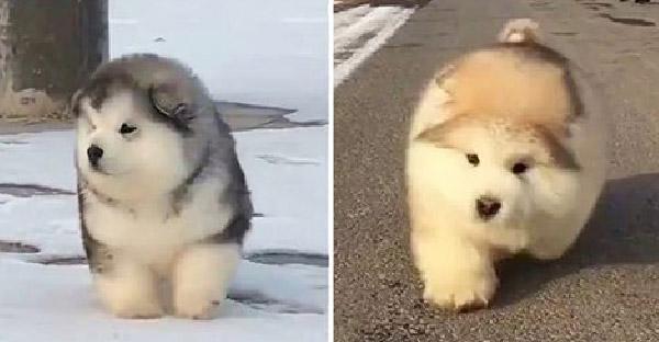 อลาสกัน มาลามิวท์ น้องหมาขนแน่นที่น่ารักสุดๆ ใครเห็นเป็นต้องตกหลุมรัก