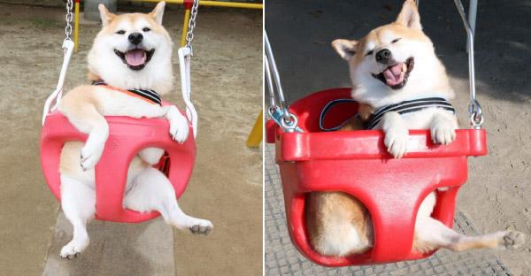 หมาคนอื่นอาจชอบเดินเล่น!! แต่เจ้าชิบะอินุตัวนี้ชอบนั่งชิงช้าจนหน้าฟินสุดๆ