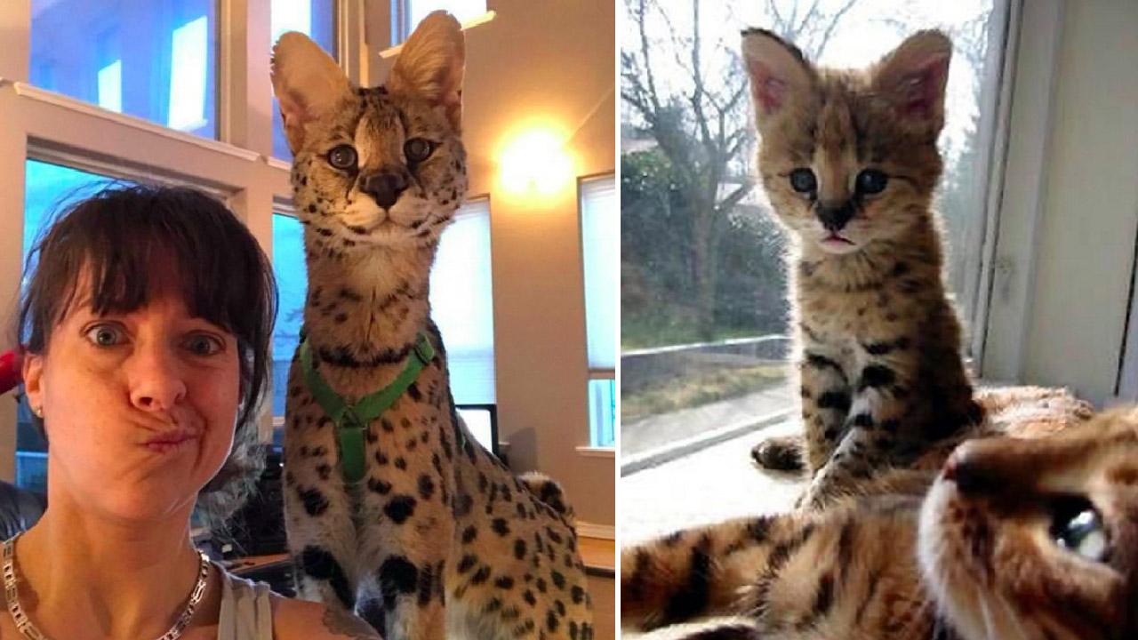 ชาวเน็ตสงสัยว่าแมวสายพันธุ์อะไร เธอจึงเฉลยว่ามันคือแมวป่าเซอร์วัลที่ไม่ธรรมดา