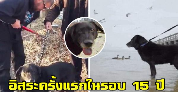 กู้ภัยเข้าช่วยเหลือหมาแก่ถูกล่ามโซ่ตลอด 15 ปี  กับวินาทีที่ได้สัมผัสอิสระเป็นครั้งแรกในชีวิต