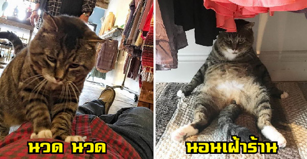 สาวพิชิตใจแมวจรจัดที่เคยดุร้ายกลายเป็นพนักงานเฝ้าร้าน แถมบริการนวดลูกค้าได้อีกด้วย