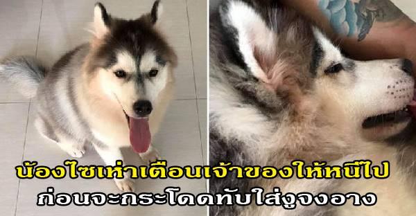 น้องไซเห่าเตือนเจ้าของให้หนีไป ก่อนจะกระโดดทับใส่งูจงอาง สุดท้ายปลอดภัยทั้งคนทั้งหมา