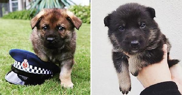 21 ภาพลูกสุนัขตำรวจจอมป่วน ที่เริ่มปฏิบัติการวันแรกก็เอาเข้าซะแล้ว