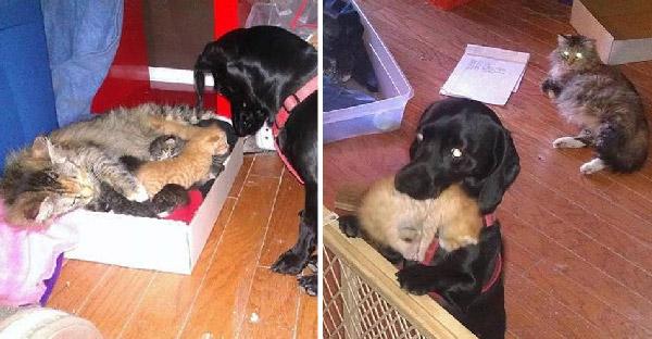 หมาแสนรู้อาสาเป็นพ่อบุญธรรม ให้แมวไร้บ้านที่เพิ่งคลอดลูกถึง 7 ตัว