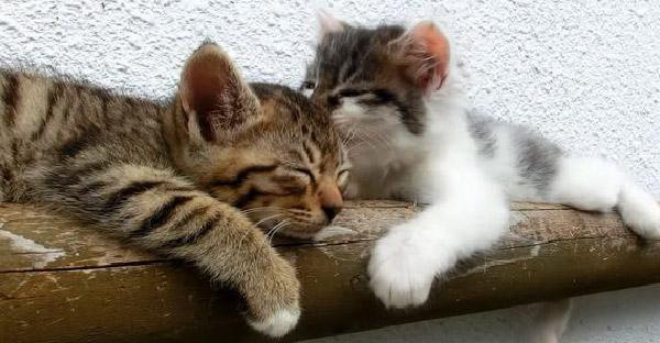 น้องแมวพยายามปลุกเพื่อนลายสลิดมาเล่นด้วย เป็นความน่ารักเฉพาะตัวของลูกแมวตัวน้อยเท่านั้น