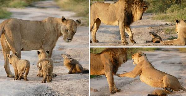 สิงโตตัวเมียช่วยปกป้องลูกสุนัขจิ้งจอกบาดเจ็บ จากสิงโตตัวผู้ที่พยายามเข้ามาทำร้าย