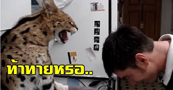 ชายหนุ่มท้าทายแมวป่าเซอร์วัล ด้วยการก้มหัวเข้าไปใกล้ๆ เลยเจอทีเด็ดแม่เสือเข้าให้
