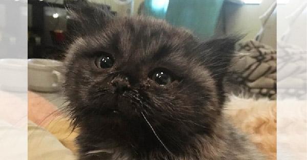 """สาวพบลูกแมวถูกทิ้งอยู่ใต้บันได ก่อนจะรู้ว่ามันคือ """"ลูกแมวแคระหายาก"""""""