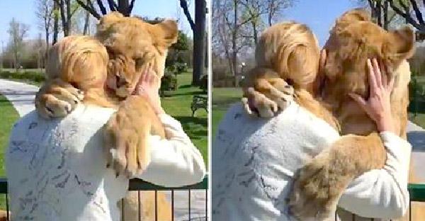สิงโตสองตัววิ่งเข้าสวมกอดมนุษย์แม่ หลังกลับมาเจอกันอีกครั้งในรอบหลายปี