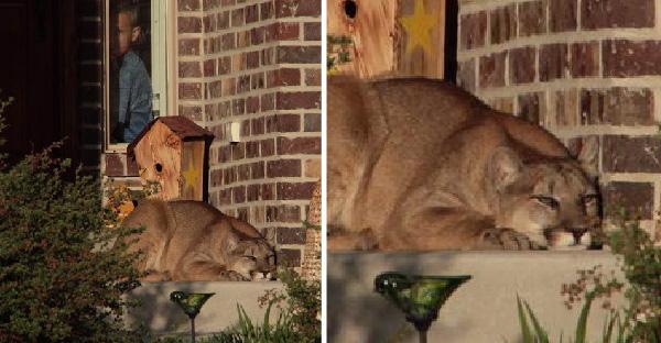สิงโตภูเขาหลงฝูงมานอนอาบแดดหน้าบ้านคนอย่างชิลล์ ก่อนกู้ภัยจะมาช่วยส่งตัวกลับธรรมชาติ