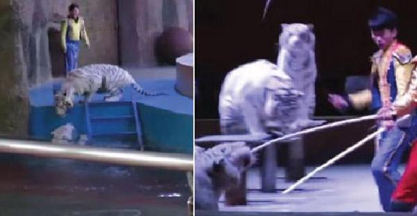 เสือขาวขัดคำสั่งครูฝึก วิ่งฝ่าดงแส้เพื่อมาดูเพื่อนที่พลาดตกน้ำ