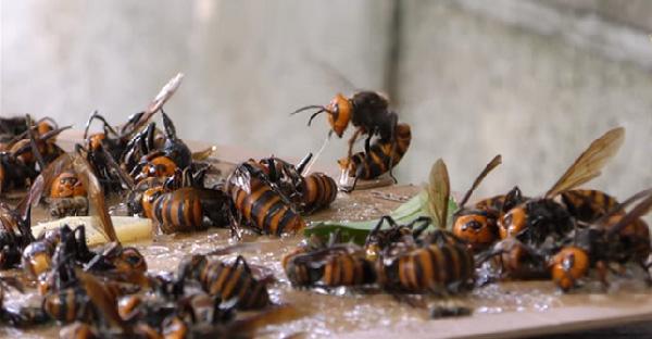 """ชาวญี่ปุ่นเผยวินาทีวางกับดักจับมฤตยูตัวร้าย """"ต่อยักษ์เอเชีย"""" เพื่อปกป้องรังผึ้งเอาไว้"""