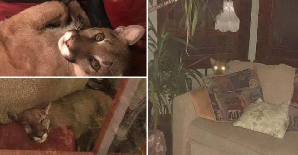 สิงโตภูเขาบุกเข้าบ้านกลางดึก แต่มันกลับนอนหลับหลังโซฟาอย่างแมว เจ้าบ้านบอกมาได้แต่ไม่มาดีกว่า