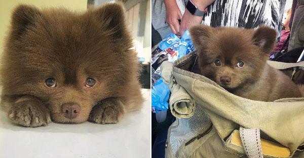 นักเพาะพันธุ์ทิ้งลูกหมาปอมเพราะไม่ได้มาตรฐาน ก่อนที่มันจะดังเป็นพลุแตกบนโซเชียล