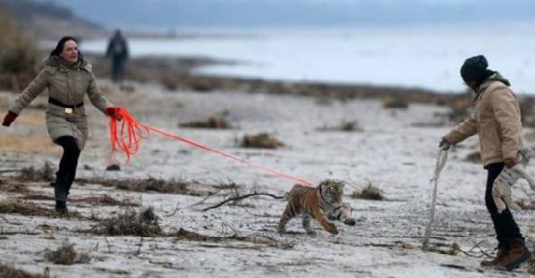 ครอบครัวใจดีรับลูกเสือที่ถูกแม่ทิ้งไปเลี้ยง และมันเติบโตขึ้นท่ามกลางความรักและเอาใจใส่