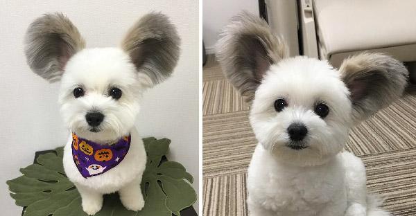 """น้องหมามิกกี้เม้าส์ """"Goma"""" ที่กำลังโด่งดังบนโลกออนไลน์ จนชาวเน็ตพากันตกหลุมรักมากกว่าแสนคน"""