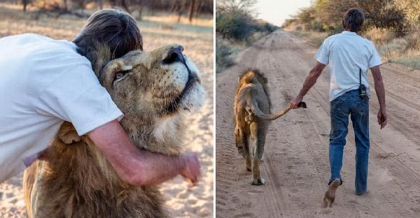 คุณตาช่วยชีวิตและชุบเลี้ยงสิงโตมาตลอด 11 ปี สนิทกันจนสามารถถือหางเดินเล่นได้