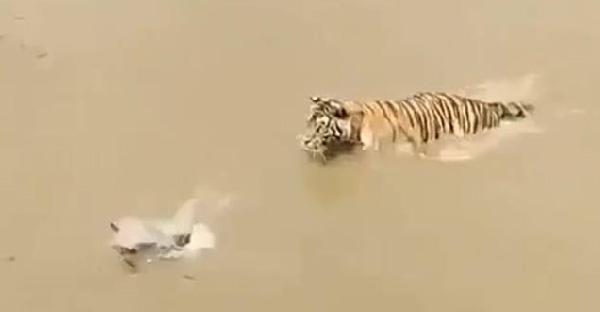 เป็ดน้อยใช้ไหวพริบหลบพี่เสืออย่างแยบยล ทำเอาพี่เสือถึงกับยืนงงเป็นไก่ตาแตก