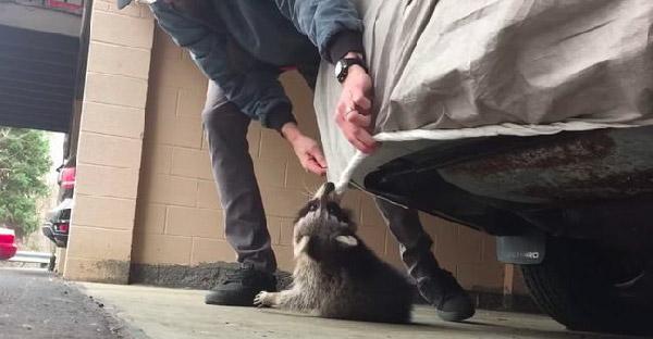 หนุ่มช่วยแร็กคูนถูกผ้าคลุมรถรัดคอจนเกือบหายใจไม่ออก สุดท้ายแถมอาหารให้กินสบายใจไปอีก