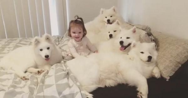 คุณแม่แชร์ความน่ารักของการเลี้ยงลูกสาวและหมาซามอยด์ 5 ตัว ถึงจะเหนื่อยแต่มีความสุขที่สุด