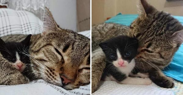 แมวบ้านอุปถัมภ์ได้ยินเสียงลูกแมวกำพร้าร้องไห้ จึงวิ่งไปหาและกลายเป็นแม่ใหม่ให้ทันที