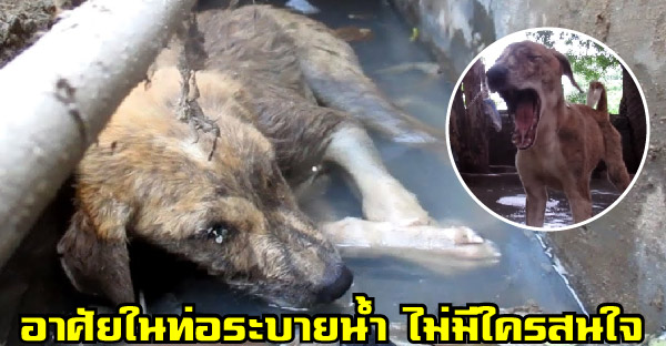 น้องหมาบาดเจ็บจนทำได้แค่ยกหัวพ้นน้ำเน่า ก่อนกู้ภัยสัตว์ช่วยชุบชีวิตให้เหมือนเกิดใหม่