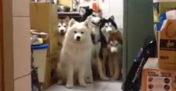 เจ้าของฝึกให้สุนัขเดินเรียงเดี่ยวเข้าบ้านเมื่อถูกเรียกชื่อ น่ารักน่าลุ้นกันทุกตัวจริงๆ