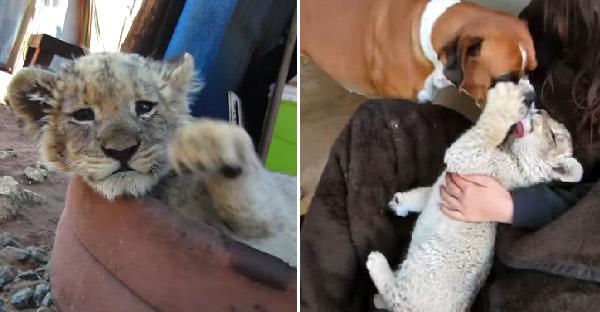 ลูกสิงโตขาวถูกแม่แท้ๆทอดทิ้ง ก่อนได้หมาช่วยปลอบใจและรักกันเหมือนพี่น้องแท้ๆ