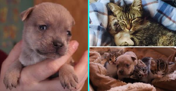 แม่แมวมือใหม่รับเลี้ยงลูกหมากำพร้า ดูแลอย่างดีเหมือนกับลูกแท้ๆของตัวเอง