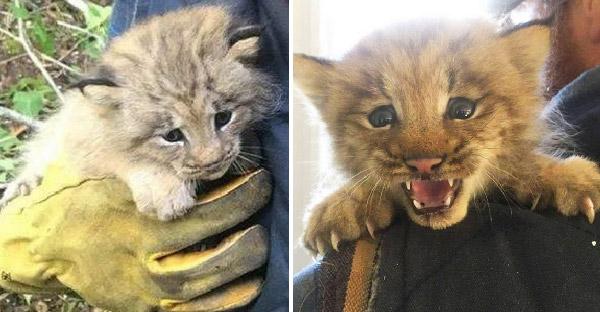 หนุ่มช่วยชีวิตลูกแมวจากข้างทาง ปรากฎว่ามันเป็นลูกแมวป่าลิงซ์ที่หายาก
