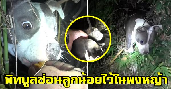 กู้ภัยสัตว์ช่วยเหลือพิทบูลตาเดียวที่ถูกทอดทิ้ง ก่อนจะพบว่ามันซ่อนลูกน้อยไว้ในพุ่มไม้ด้วย