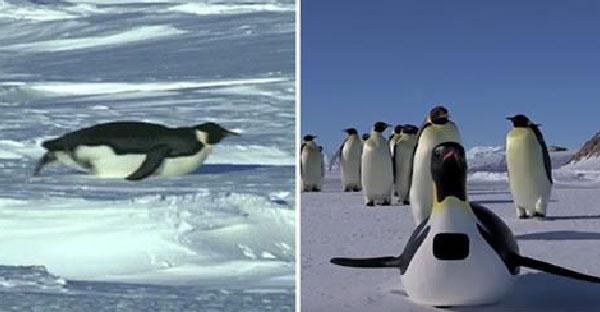 นักสัตววิทยาส่งเพนกวินปลอมติดกล้องเพื่อสังเกตพฤติกรรม จนตัวจริงไถลพื้นเลียนแบบได้ฮาสุดๆ