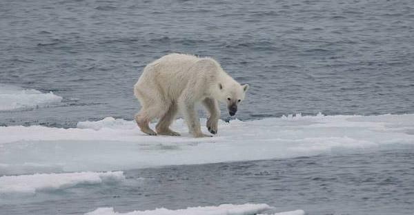 ความจริงของหมีขั้วโลกหมีที่น่าเกรงขาม ที่ได้รับผลกระทบจากโลกร้อนกลุ่มแรก