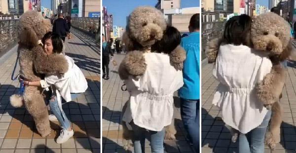 พุดเดิ้ลหุ่นหมีเหมือนตุ๊กตายักษ์ ที่ใครเห็นเป็นต้องตกหลุมรักอย่างแน่นอน
