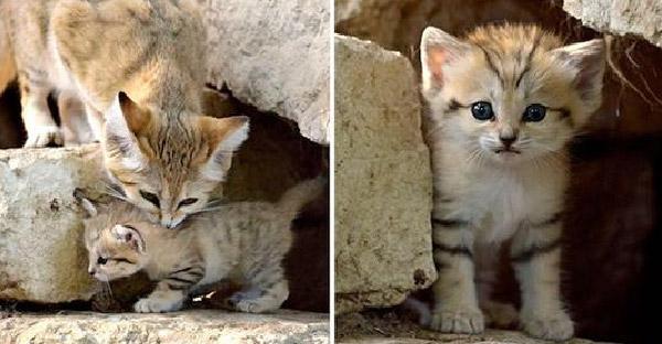 """มารู้จักกับ """"แมวทราย"""" หน้าตาน่ารักมุ้งมิ้งแต่ขัดกับฝีมือในการล่าเหยื่อสุดๆ"""